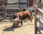 fotomontage bou entrant al corral en cara de Montoro